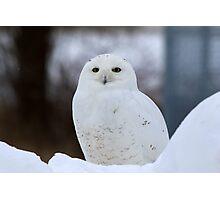 """Amber"" Eyes-Snowy Owl Photographic Print"