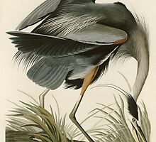 John James Audubon (Jean-Jacques Audubon)  GREAT BLUE HERON by Adam Asar