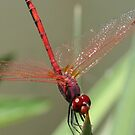Beautiful Red Skimmer or Firecracker Dragonfly by taiche
