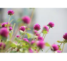 """Paper Pinks"" Photographic Print"