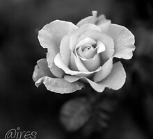 Sunday Rose, in black and white by Iris MacKenzie