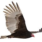 Isolated Turkey Vulture 2014-1 by Thomas Young