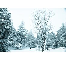 Snow and frost covered pine trees Photographic Print