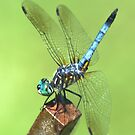 Dragonfly by Kim McClain Gregal