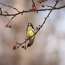 Cedar Waxwing Eating Berries 2014-1 by Thomas Young