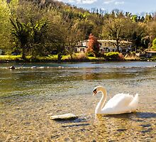 swan in the river by zakaz86