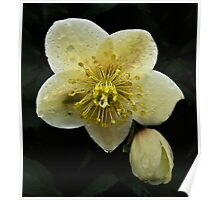Christmas Rose in the Rain Poster