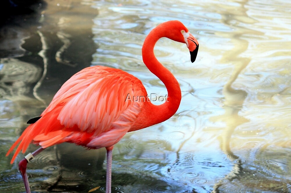 American Flamingo: One Black Feather  by AuntDot