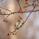 Cedar Waxwing Eating Berries 2014-2 by Thomas Young
