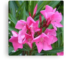 Pink Oleander Bouquet Closeup Canvas Print