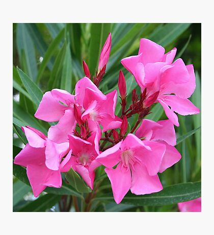 Pink Oleander Bouquet Closeup Photographic Print