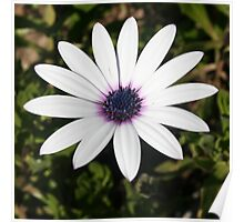 White African Daisy Poster