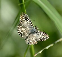 Tropical Checkered Skipper Butterfly by Heather Pickard
