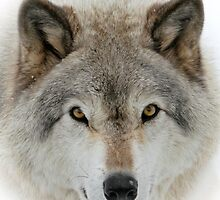 Wolf Portrait by Heather King