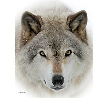 Wolf Portrait Photographic Print