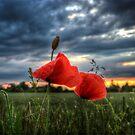 Poppies in the Rain by Nigel Bangert