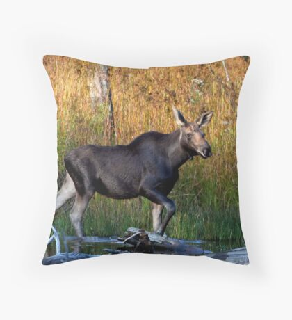 Maine Moose, yearling bull Throw Pillow