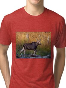 Maine Moose, yearling bull Tri-blend T-Shirt