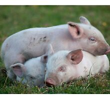 Three White Sleeping Piglets by TheCurators