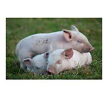 Three White Sleeping Piglets Photographic Print