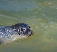 Common seal posing by LindaCooke