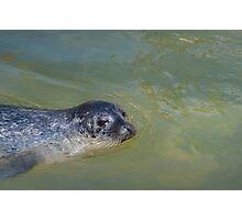 Common seal posing Photographic Print
