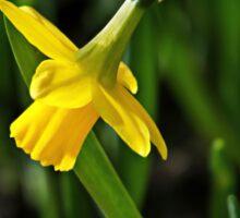 Tete s Tete Daffodil Sticker