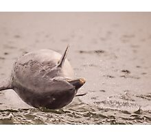 Wild Bottle Nose Dolphin breaching for joy Photographic Print