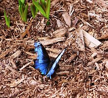 Blue Morpho by melaniemccurdie