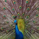 Peacock by BB83