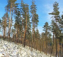 Winter pines forest landscape  with snow by juras