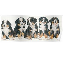 Bernese Mountain Dog Puppies Poster