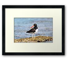American Oyster Catcher Framed Print
