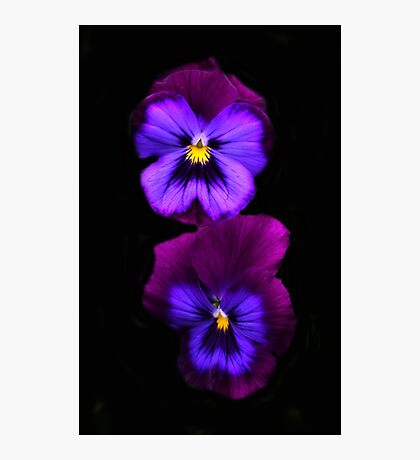 Purple Pansies  Photographic Print