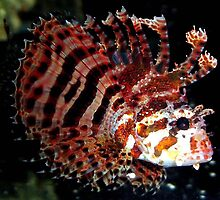 Scorpion Fish by Johnny Furlotte