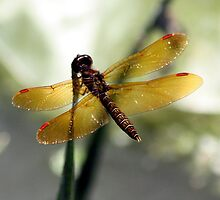 Eastern Amberwing Dragonfly by Johnny Furlotte