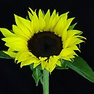 Sunflower by Sandy1949