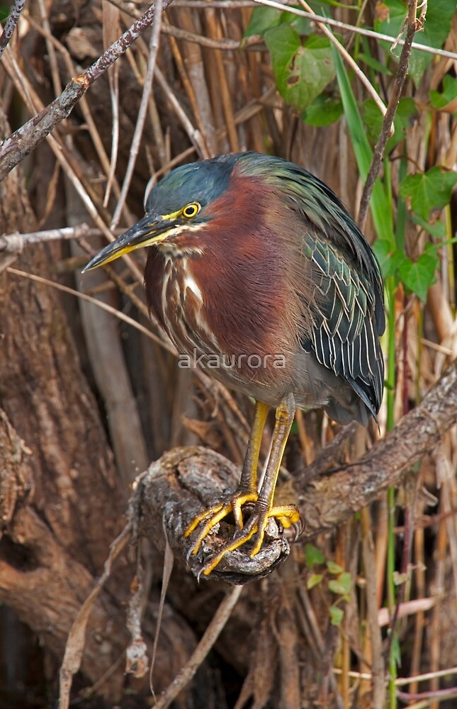 STOCK ~ Green Heron #3 by akaurora