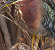 STOCK ~ Green Heron #3 Sticker