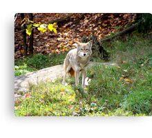 coyote Canvas Print