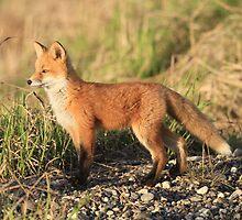 Standing Alone (Red Fox Kit) by akaurora