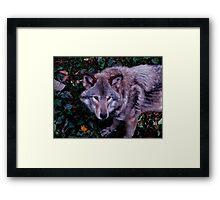 Loup Gris Framed Print