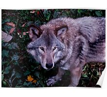 Loup Gris Poster