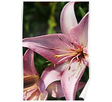 Pink Lilies Poster