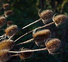 Teasels by Deb Vincent