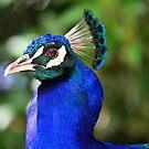 peacock by Rosina  Lamberti