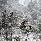 12.1.2016: Pine Trees in Blizzard by Petri Volanen