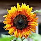 Sunflower by relayer51