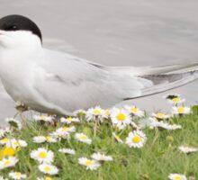 Common Tern Sticker