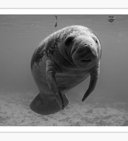 Manatee B/W Sticker